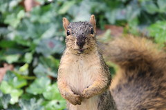113/365/3765 (October 2, 2018) - Squirrels in Ann Arbor at the University of Michigan - October 2nd, 2018 (cseeman) Tags: gobluesquirrels squirrels annarbor michigan animal campus universityofmichigan umsquirrels10022018 fall autumn eating peanut acorns octoberumsquirrel 2018project365coreys yearelevenproject365coreys project365 p365cs102018 356project2018 foxsquirrels easternfoxsquirrels michiganfoxsquirrels universityofmichiganfoxsquirrels