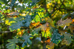 SJ1_2202 - Leaves  (Explored) (SWJuk) Tags: burnley england unitedkingdom swjuk uk gb britain lancashire home leaves oak autumn autumnal autumncolours bokeh 2018 oct2018 rowley rowleylake nikon d7200 nikond7200 nikkor1755mm rawnef lightroomclassiccc