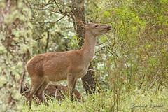 Cervus elaphus Cerf élaphe Red deer (֍ Bernard LIÉGEOIS ֍) Tags: espagne españa spain estrémadure extremadura monfragüe monfragüeparcnational parquenacionaldemonfragüe mammal mammifère mammifères cervuselaphus