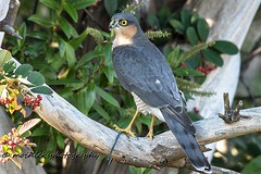 Sparrowhawk. Male. (vampiremoi) Tags: male sparrowhawk sidvicious raptor garden tree feeders nikon d500 tamron 150600 october 9th 2018