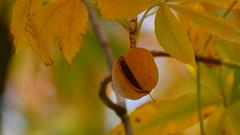 kurz vor dem Fallen... (marionkaminski) Tags: herbst autumn kastanie laub laubfärbung blätter blatt pflanze plant panasonic lumixfz1000