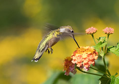 A lot less bovver with a hover (lorrainejubb) Tags: bird nature rubythroated northcarolina hummingbird