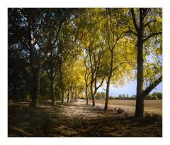 Herbstallee (W.Utsch) Tags: scenicsnotjustlandscapes landscape sigma dp2 merrill foveon herbst autumn fall colors stich