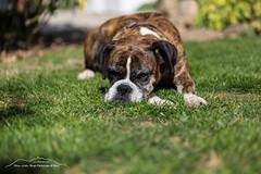 Neele tiefenentspannt 181001 (Bianchista) Tags: bianchista boxer hund hound dog oktober herbst 2018 garten haustier gras tier