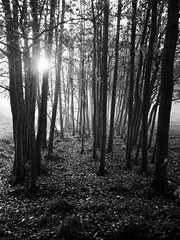 Morning in the woods (docwiththecamera) Tags: monochrome bw nature mist fog autumn ground leaf sun sunrise