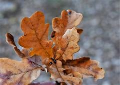 (:Linda:) Tags: germany thuringia village bürden oaktree leaf