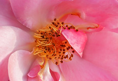 01234 Innenleben einer Rose. (Fotomouse) Tags: fotomouse margrit rose innenleben blumen blume flowers flower blüte blüten blossoms blossom makro macro