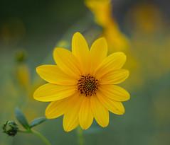 En la natura, la mas bella.- (angelalonso57) Tags: canon eos 6d ef50mm f18 stm ƒ18 500 mm 1640 100 flower nature explorar explore las flores de mi galeria yellow