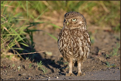 Little Owl (image 1 of 2) (Full Moon Images) Tags: wildlife nature bird birdofprey little owl cambridgeshire fens