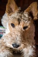 GFC_0258 (Willini) Tags: willini fox terrier foxterrier amigo lente bohke nikon mascota animal ternura