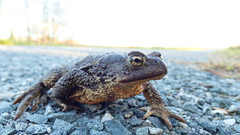 crossing the road (arvosoosalu) Tags: sky sunshine weather walk wildlife nature outdoor countryside road frog