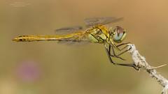 Sympetrum fonscolombii (Pipa Terrer) Tags: sympetrumfonscolombii odonata anisoptera insecta invertebrados campodecartagena libélula