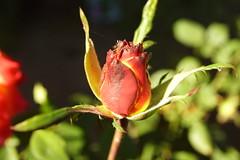 Розовый бутон / Rosebud (Владимир-61) Tags: осень октябрь природа флора цветы роза бутон autumn october nature flora flower rose rosebud bud sony ilca68 minolta28135