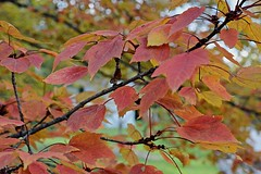 Autumn Leaves (durand clark) Tags: fall autumn leaves autumnleaves fallcolor springgrovecemetery cincinnati maple mapleleaves northwoodredmaple nikond7100