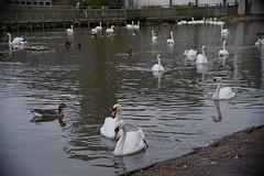 1508-12L (Lozarithm) Tags: slimbridge wwt swans k1 55300 hdpda55300mmf458edwr