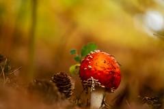 (Toadstool) Fliegenpilz (sigiha1953) Tags: fliegenpilz natur nature wald forest toadstool pilz mushroom