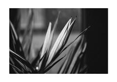 Sunny Silence (Thomas Listl) Tags: thomaslistl blackandwhite biancoenegro noiretblanc light sunlight plant leaves mood atmosphere silence grey flora diagonal 35mm