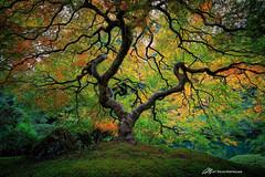 Fall in Portland (Matt Straite Photography) Tags: tree color fall autumn portland japanese garden canon tripod