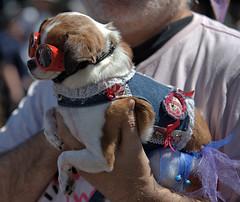 Corrective Lenses (Scott 97006) Tags: dog cute petite animal pet anthropomorphism fashion goggles vision