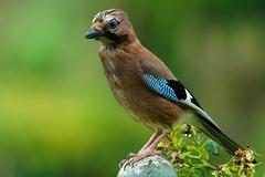 DSC00137 - Jay (steve R J) Tags: jay garden birds british