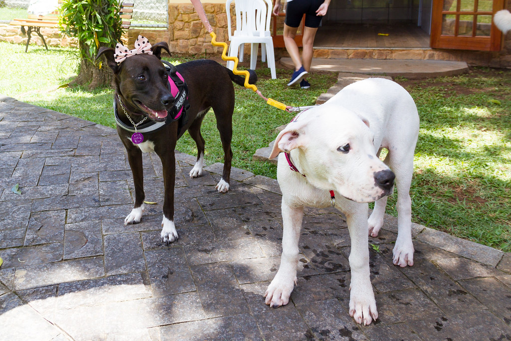 The Worlds Newest Photos Of Labrador And Pitbull Flickr Hive Mind