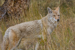 Through the good looking grass (ChicagoBob46) Tags: coyote yellowstone yellowstonenationalpark nature wildlife ngc coth5 specanimalphotooftheday naturethroughthelens npc