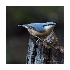 Nuthatch (prendergasttony) Tags: nuthatch rspb wildlife pennington tree nikon d7200