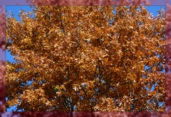 ``` Red Oak Intensity - II. ``` (Wolverine09J ~ 1.5 Million Views) Tags: crdamandanokafall18 peakfoliage scenic autumnsplendor nature park brilliantcolor minnesota redoak bluesky fantasticnature autofocuslevel1 autofocuslevel2 natureoftheworldunlimited batslair