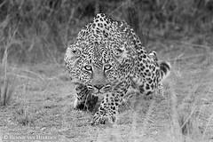 Stealth (hvhe1) Tags: nature wildlife wild cat bigcat leopard animal pantherapardus masaimara kenya luipaard mother bahati femaleafrica stalker stealth hvhe1 hennievanheerden