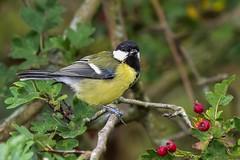 Great Tit F00426 Fairburn Ings D210bob  DSC_5045 (D210bob) Tags: great tit f00426 fairburnings d210bob dsc5045 nikond7200 birdphotography birdphotos naturephotography naturephotos nikon wildlifephotography nikon200500f56 rspb