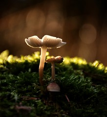 To love Beauty is to see Light (barbara_donders) Tags: natuur nature herfst fall autumn licht lichtinval ray bos forest mushroom funghi paddestoel bokeh macro beautiful magical magisch mooi prachtig