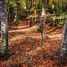 Late Autumn woodlands.