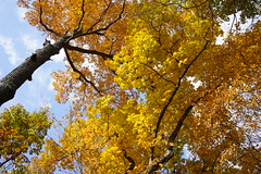 High color (D. C. Wilson) Tags: tree wood forest leaves color fall autumn sky park outdoor nature ohio sony