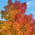 Herbstfarbene Ahornbaumkrone in Köln thumbnail