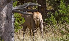 Cow elk, Yellowstone National Park (Rick Knepper) Tags: fujifilmgfx50s gf250mmf4rlmoiswrgf14xtcwr