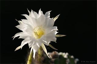 Echinopsis denudata
