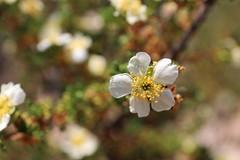 Cliffrose (Sven Bonorden) Tags: cliffrose cowaniamexicana flower blossom white bush plant grandcanyon arizona cliff weis blüte busch pflanze macro makro