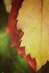 Vivamos. Y que pase lo que tenga que pasar. (elena m.d.) Tags: macromondays 7dwf nikon new d5600 sigma sigma105 rojo red amarillo yelow colores colors verde green autum otoño calle street