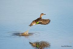 GO !!! (Jacques GUILLE) Tags: oiseau domainedesoiseaux sarcelledhiver 09 anascrecca anatidés ansériformes ariège eurasianteal mazères bird
