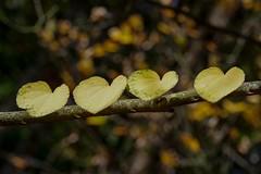 I love leaves (SpaceCadetTaylor) Tags: leaves leaf tree nature autumn fall nationaltrust winkwortharboretum closeup love family hearts