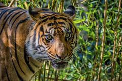 Tiger (tom22_allgaeu) Tags: augsburg deutschland europa tiere tiger zoo raubtier animal cat nikon sigma freehand freihand germany europe