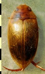 Copelatus amazonicus Régimbart, 1889:391. Heteromorphic (striolate) female, habitus, dorsal. (Wolfram Sondermann) Tags: colombia boyacá sanluisdegaceno taxonomy:order=coleoptera adephaga dytiscoidea taxonomy:family=dytiscidae copelatinae taxonomy:binomial=copelatusamazonicus female heteromorphic habitus dorsal