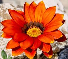 Looking close ... on Friday | Orange (Jehanmi) Tags: naturephotography 50d canon50d canon fleurs gazania flowers nature macrocloseups macrocloseup closeups macroshots macro orange lookingcloseonfriday