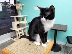 Hawaii Cat Cafe: Minnie (Tabo Kishimoto) Tags: hawaiicatcafe hawaii honolulu cats katzen chat gato neko popoki adoptacat