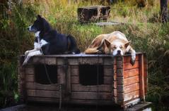Let's take a nap (☺dannicamra☺) Tags: norwegen norway norge dog animal husky dogsledding farm hund tier nature nikon d5100 schlittenhund