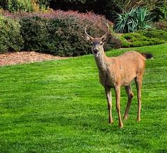 hello, deer (ekelly80) Tags: tacoma washington august2018 summer pointdefiancepark sunny beautifulday green grass deer animal
