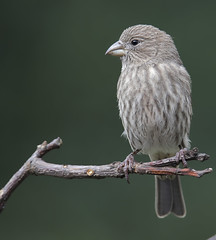 female House Finch (Yer Photo Xpression) Tags: ronmayhew canoneos6dmarkii housefinch female bird tree limb