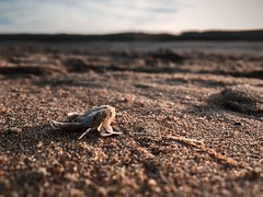 Fallen (J.C. Moyer) Tags: rustic sealife iphonese color colour morning beach sand fallen crab
