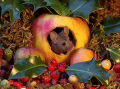 wild mouse in a christmas  apple  (2) (Simon Dell Photography) Tags: mouse inside apple festive mice animals nature wildlife wild autumn fall seasonal season uk garden english country old bright vibrant display scene george simon dell photography card posters prints christmas xmas cute fun funny