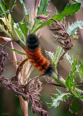 Autumn Arrival (59roadking - Jim Johnston) Tags: ifttt 500px autumn fall nature wild caterpillar